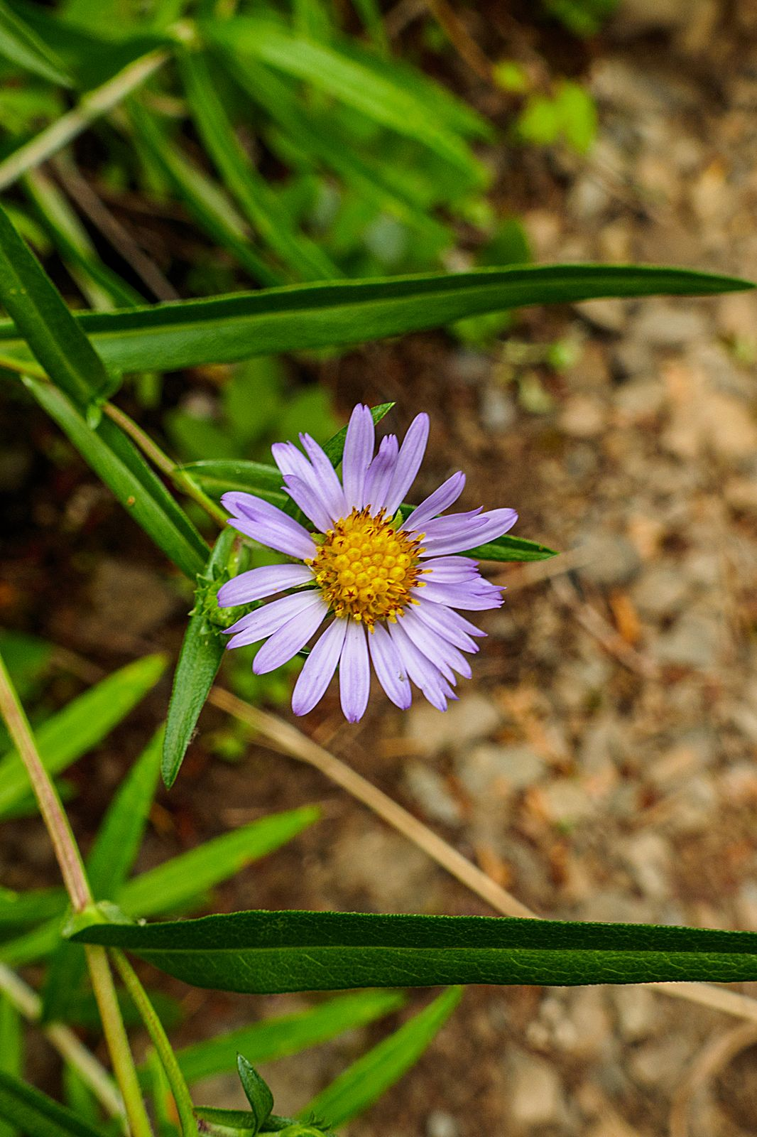 Tundra Aster -- Aster Family