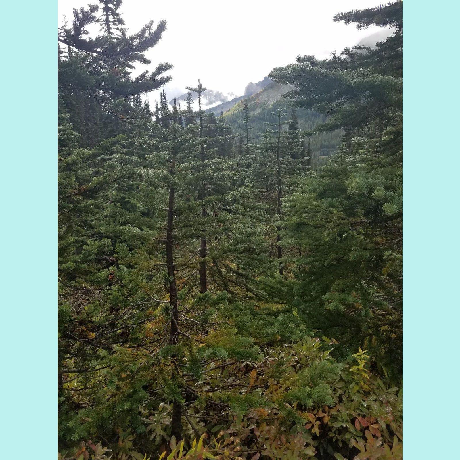 Rain sparkled evergreens