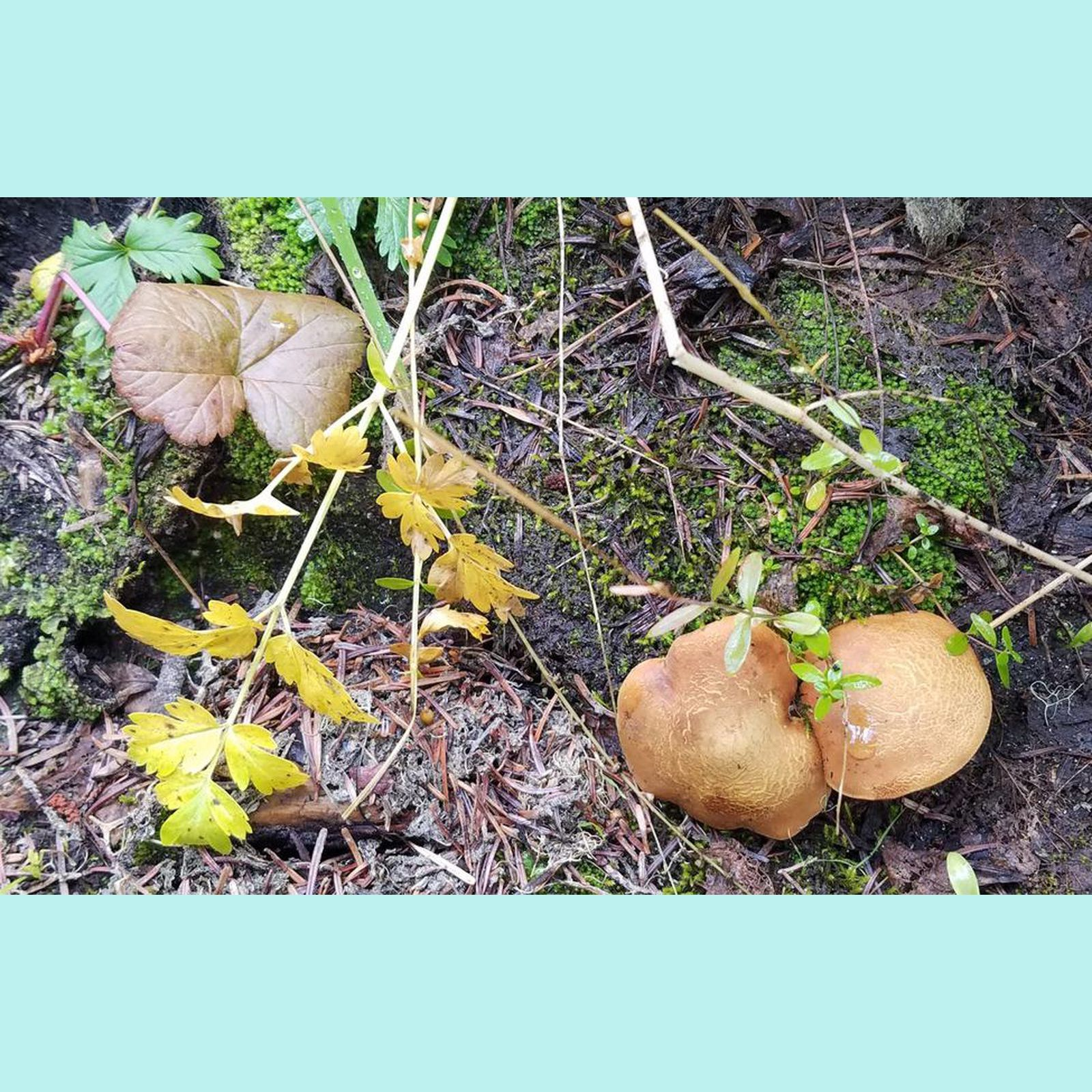 Mushroom disguised as a leaf?