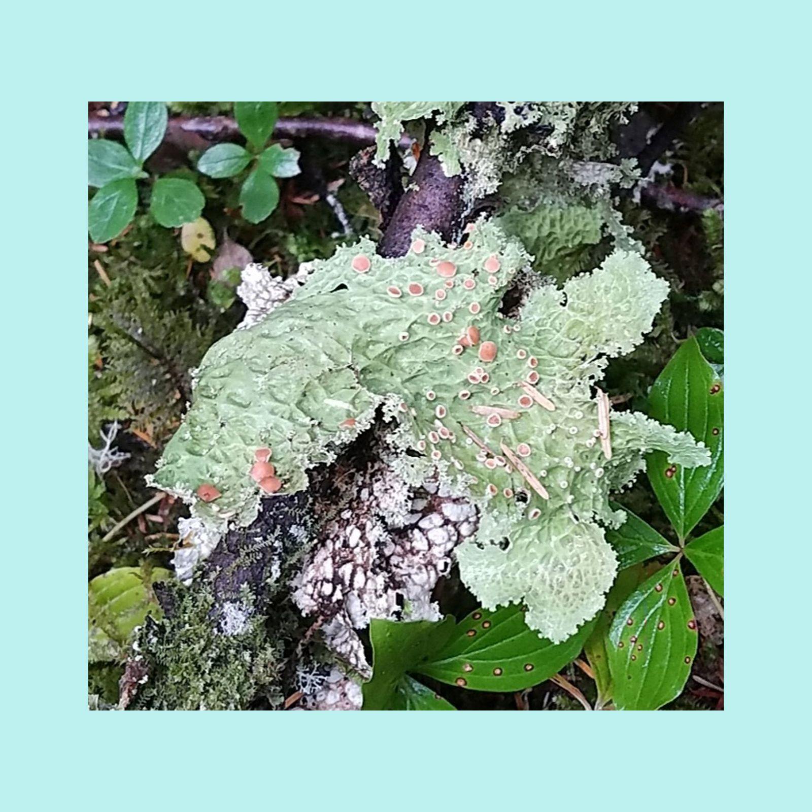 Fruiting Lichen