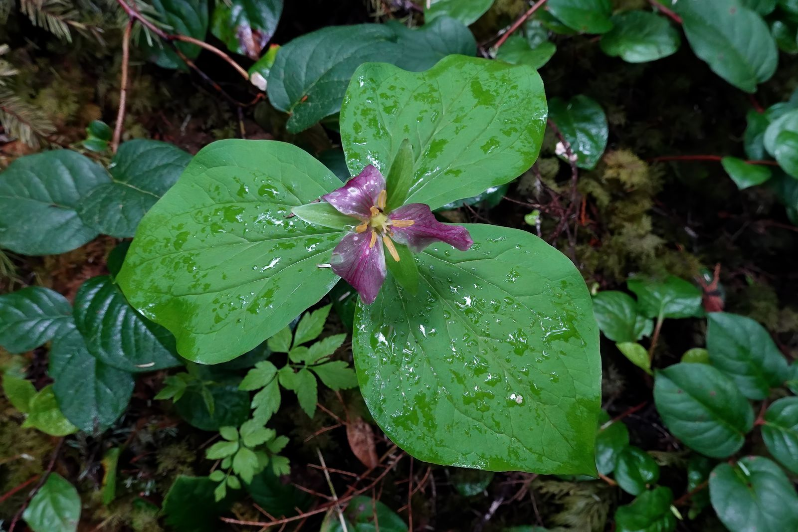 Another pretty Trillium flower