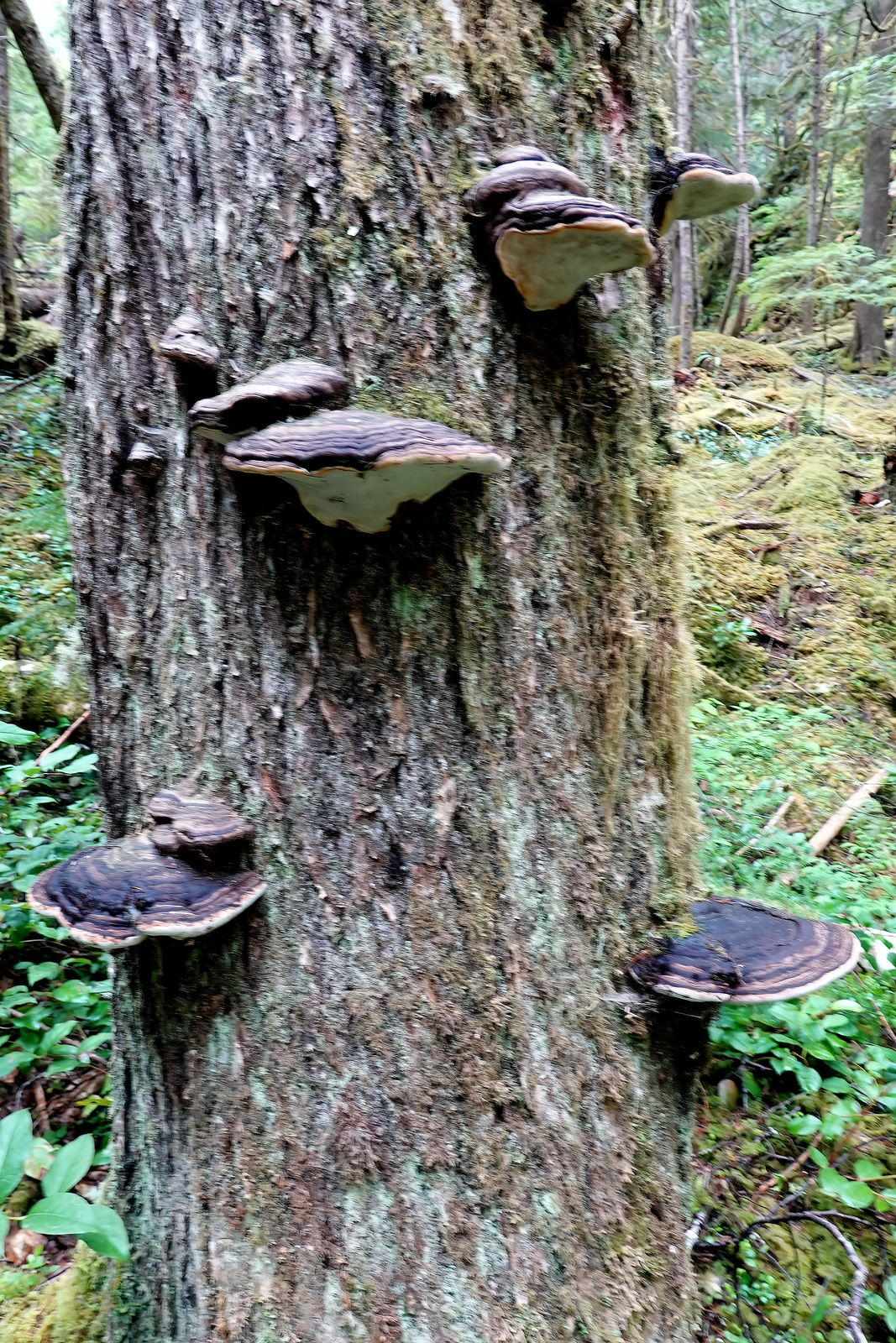 The bracket fungus sometimes grow in clumps