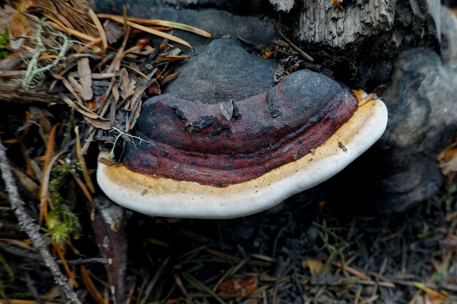 Bracket and mushroom fungi add color to the green forest