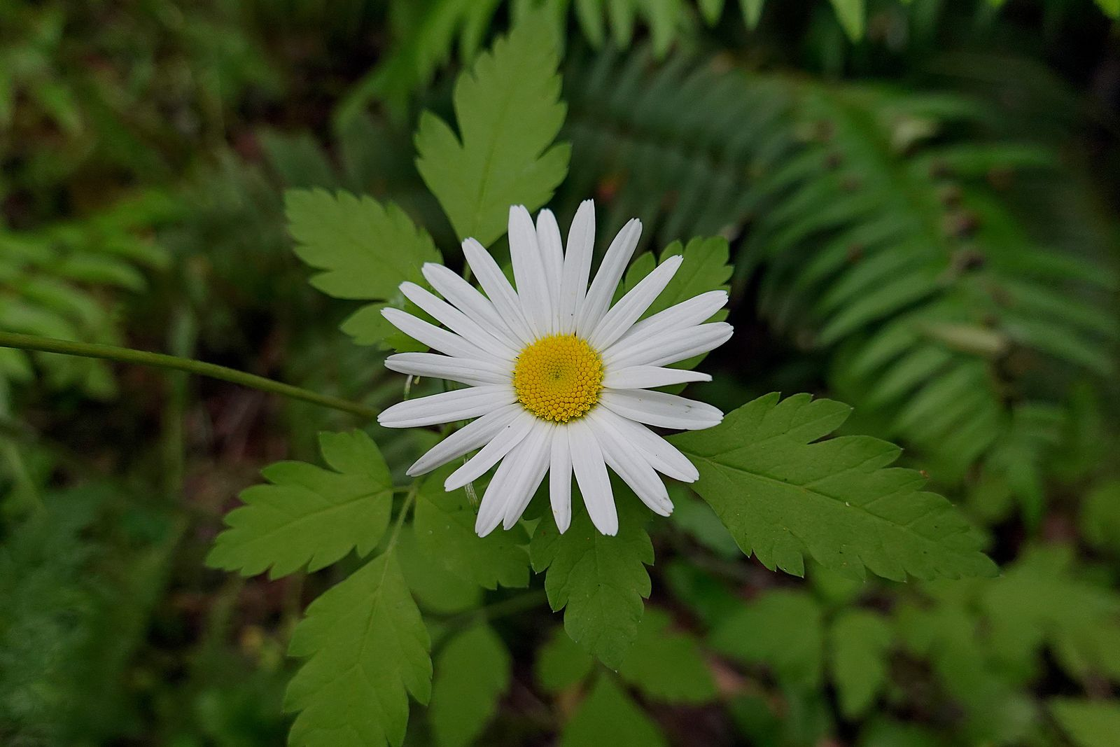 Scentless mayweed Aster Family