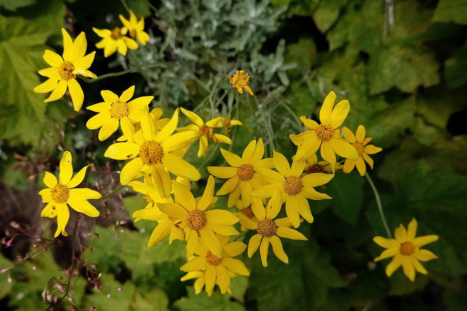 A type Sunflower