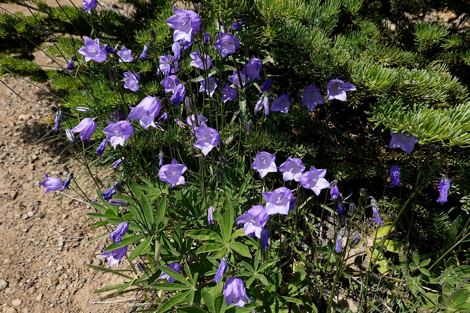 Type of Bluebell