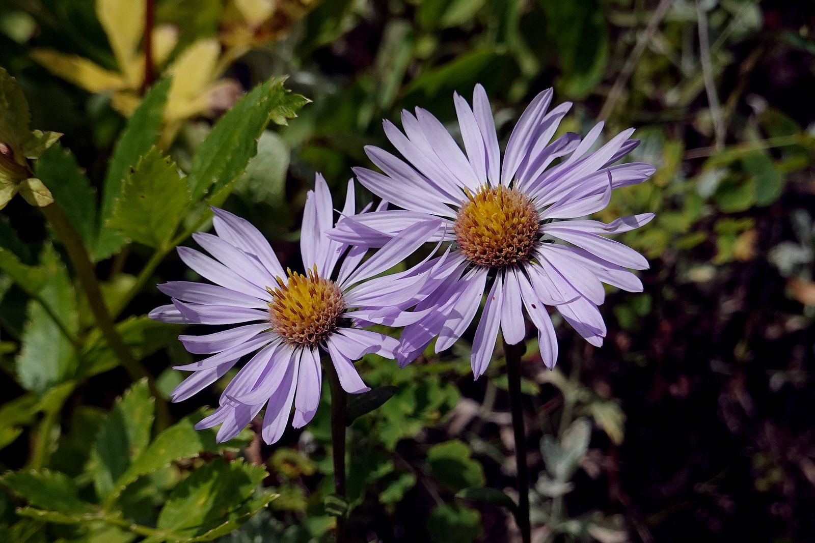 Type of Aster
