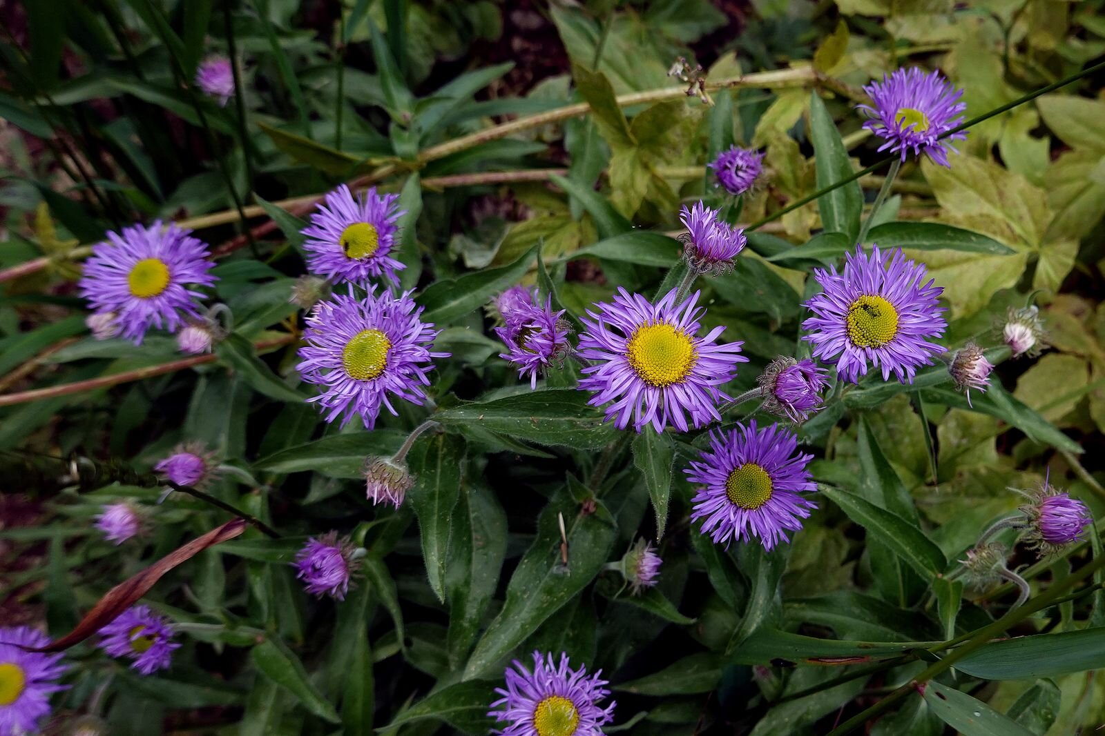 More Asters
