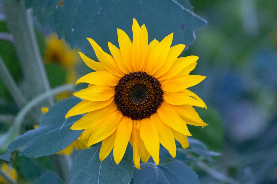 sunflower growing, sunflower
