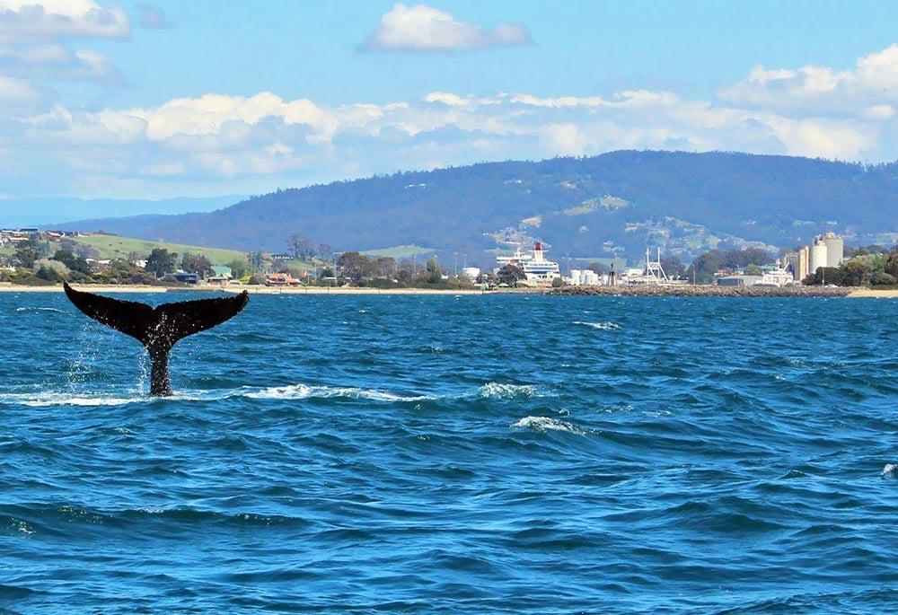 Devonport-3-Whale.jpg