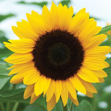 real-sunflower-art.jpg