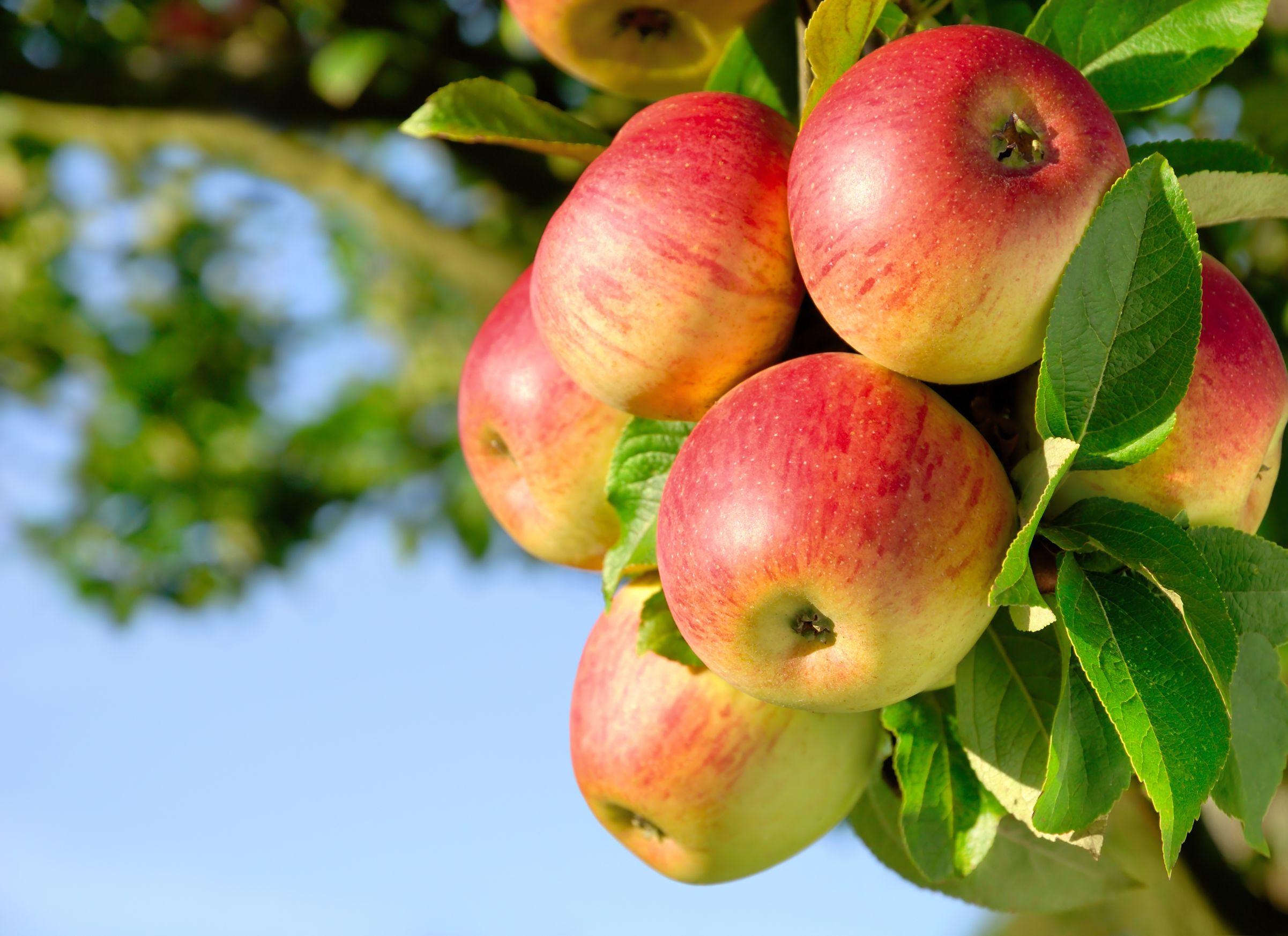 apple-theme.jpg