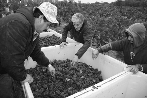Photo-Diary-Ceja-Vineyards-2012-Harvest-Sorting