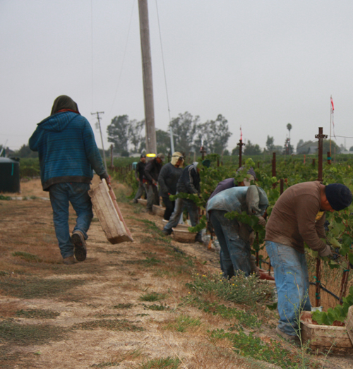 Photo-Diary-Ceja-Vineyards-2012-Harvest-Field-workers