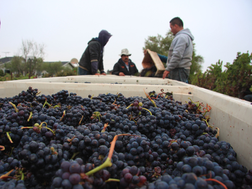 Photo-Diary-Ceja-Vineyards-2012-Harvest-bins
