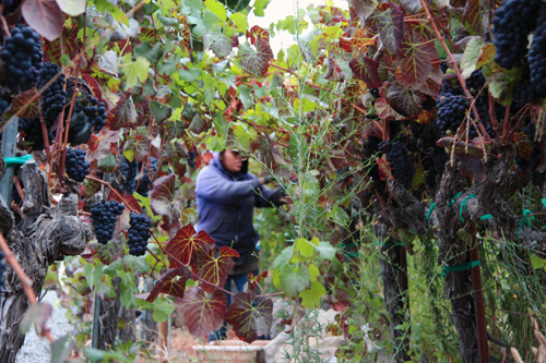 Photo-Diary-Ceja-Vineyards-2012-Harvest