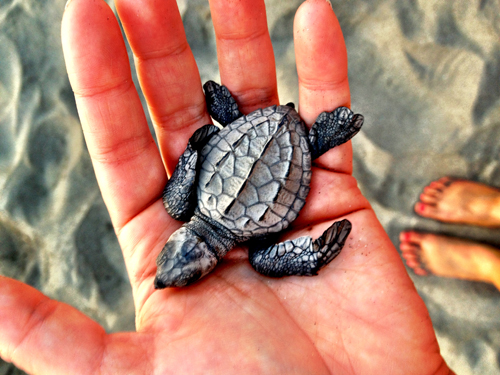 Postcards-from-Puerto-Vallarta-Baby-Sea-Turtle