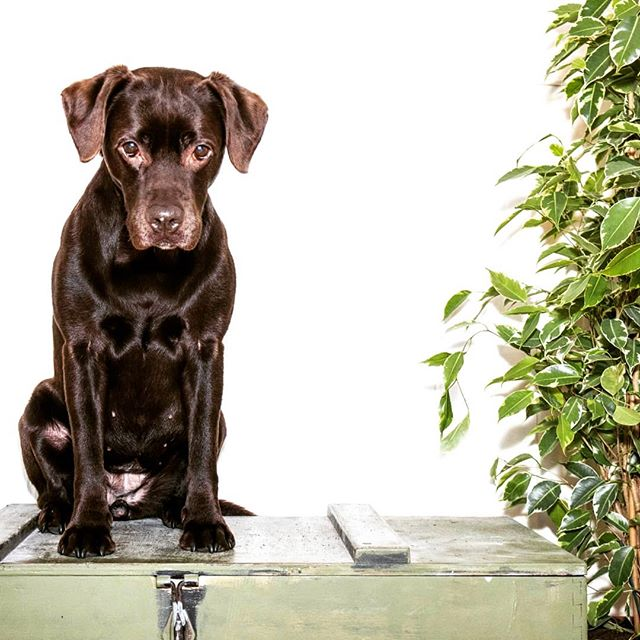 Flo giving me the puppy dog eyes, biscuit addicts have need!  #chocolatelab #chocky #labrador #pupper #puppy #mansbestfriend #petportrait #pet #dogfood #blackandwhite #highlands #studio #chocolatelabradorsofinsta #instadog #chocolatelab_squad #nom #slobberydog #cutedogs #dogphotographer #dogshavingfun #dogslovers #doggylove #doggylife #dogfriends