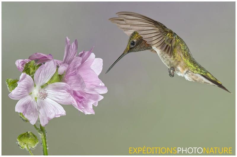 Colibri à gorge rubis (Photo: Vincent Ethier)