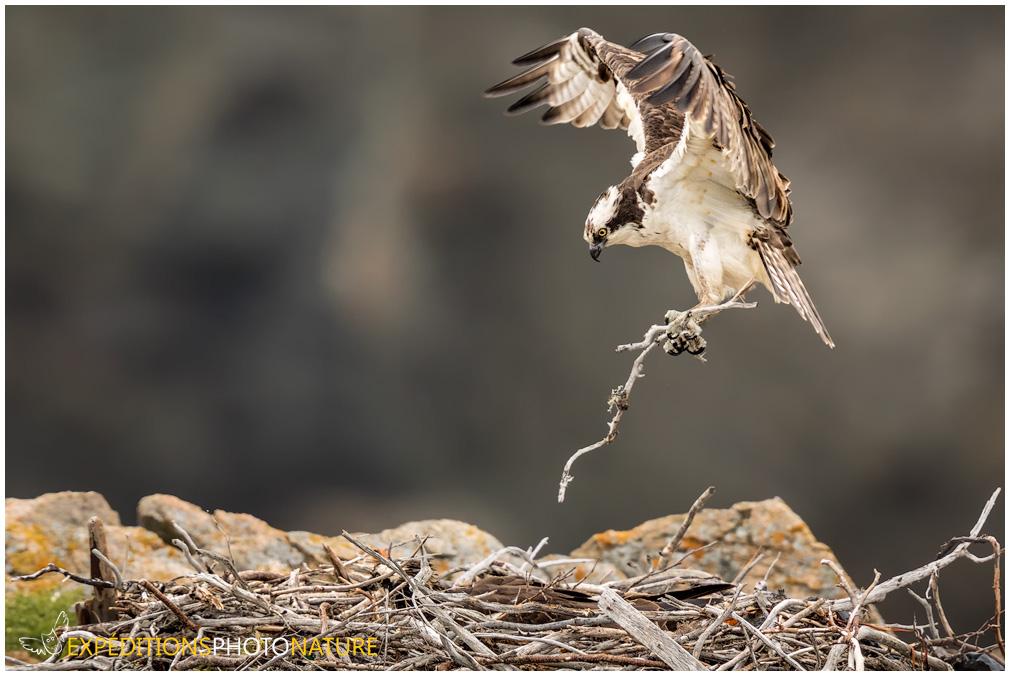 Balbuzard pêcheur apportant du matériel au nid. Crédit photo: Pierre Giard