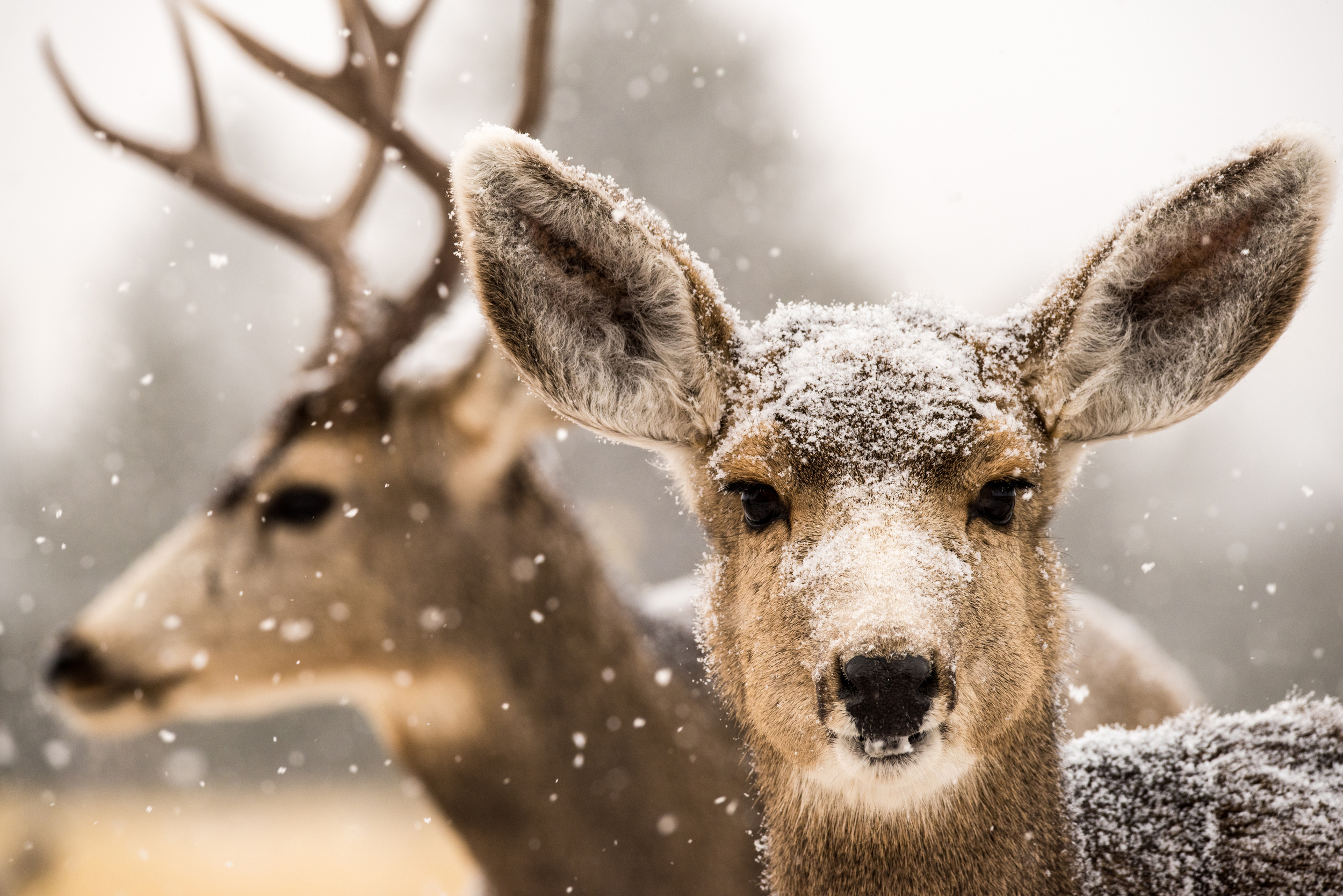 Doe and Buck in Snow Storm sm.jpg