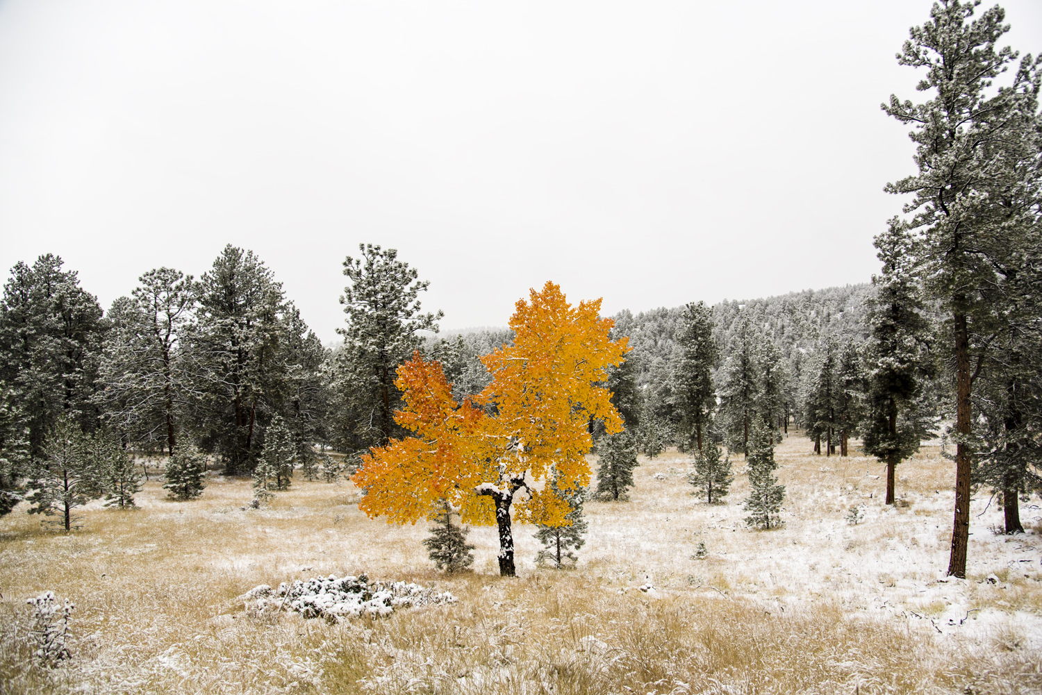 Lone Aspen Tree in First Snow