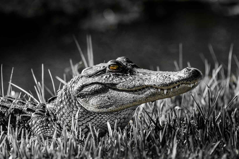 Ali Gator 2 OneCol web.jpg