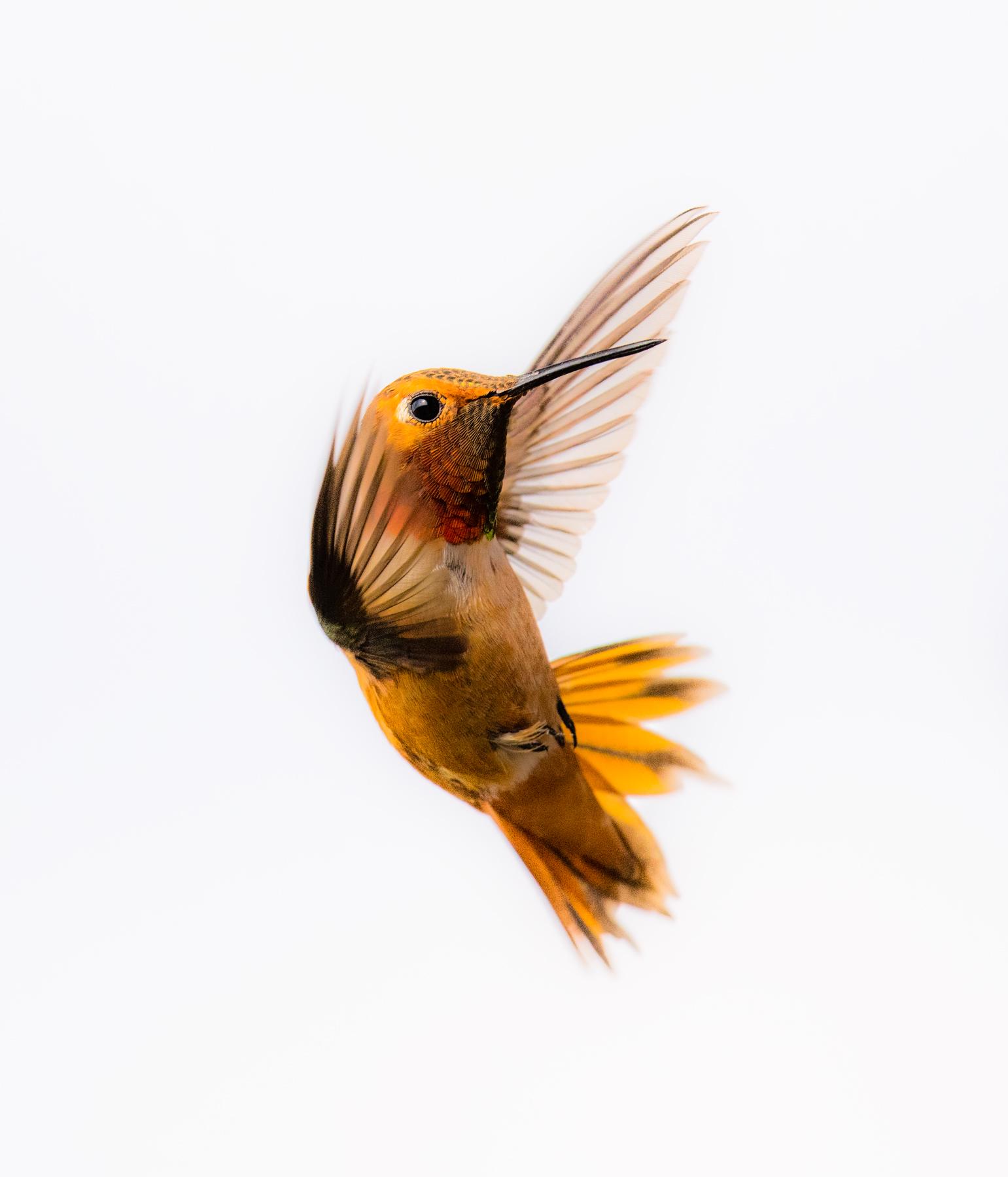 Hummingbird Close Up 1 SV web.jpg