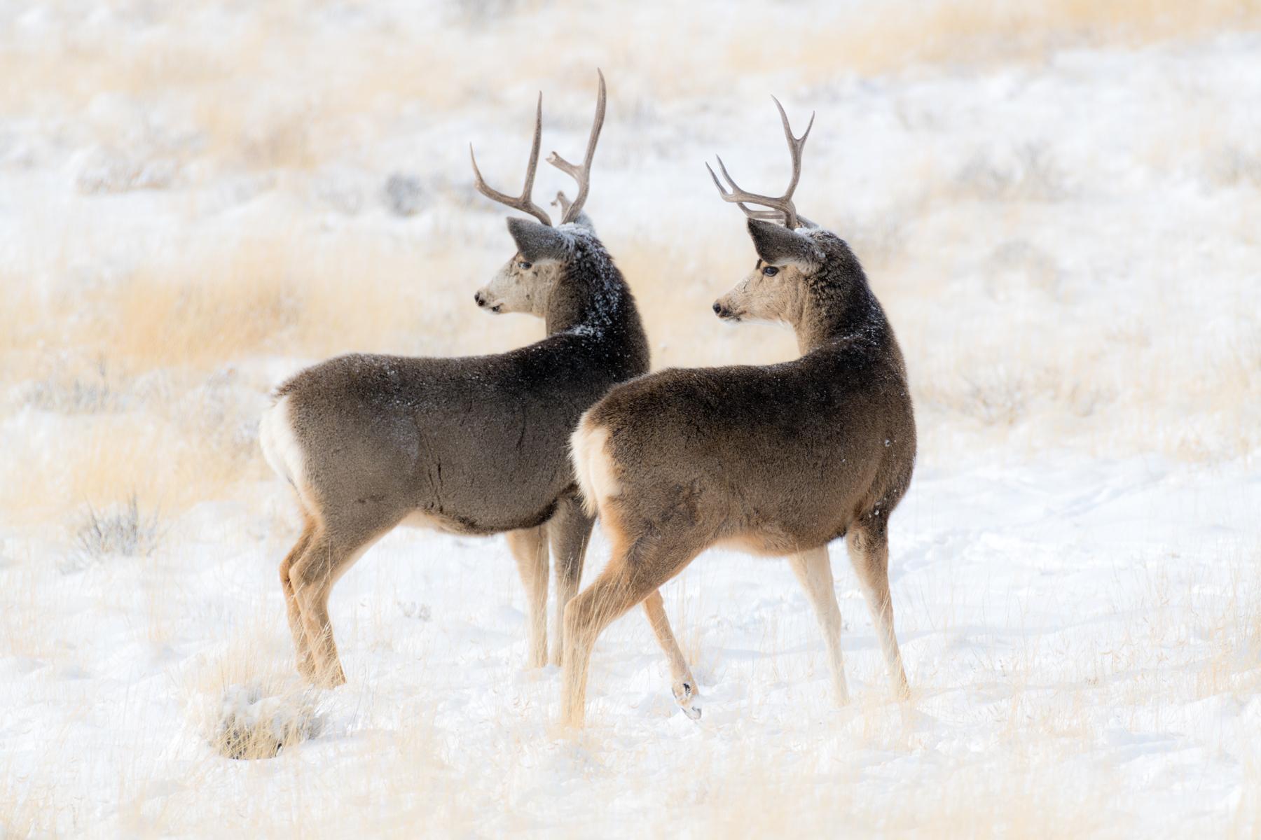 Two Bucks Looking II web.jpg