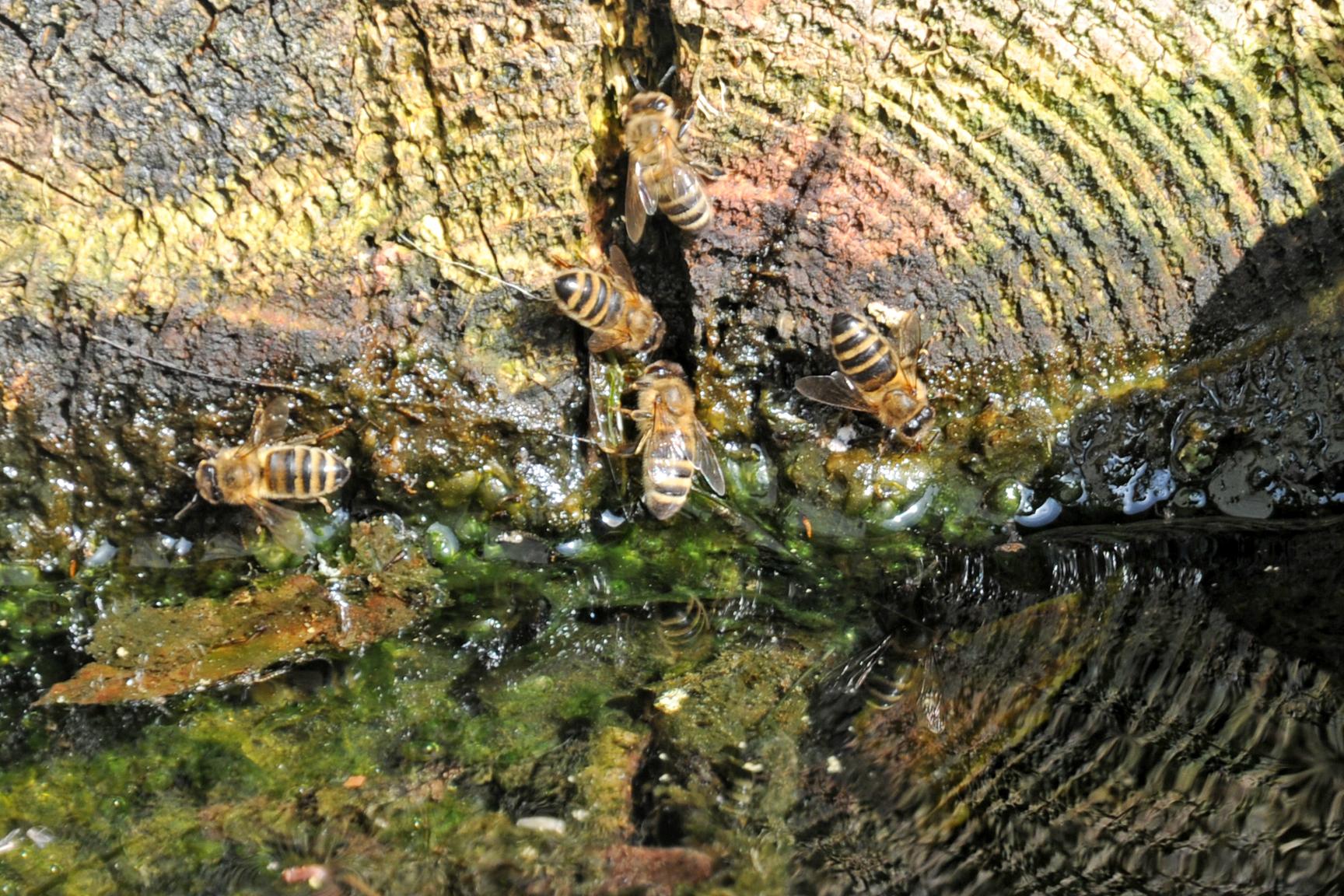 abeilles au bord de l'eau