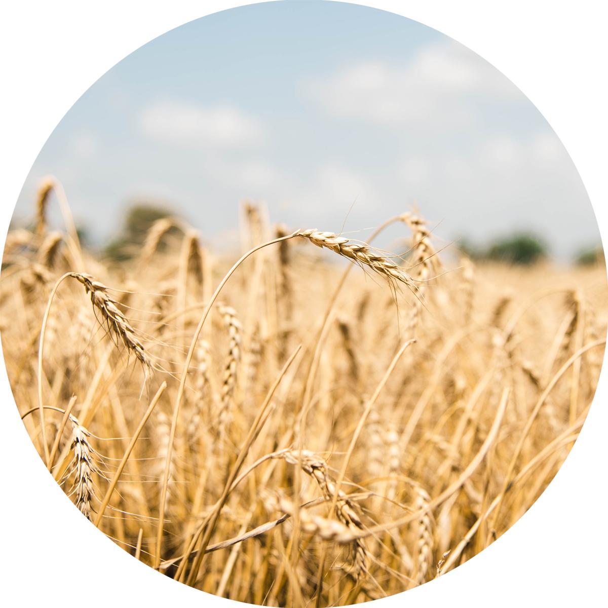 WheatCircle.jpg