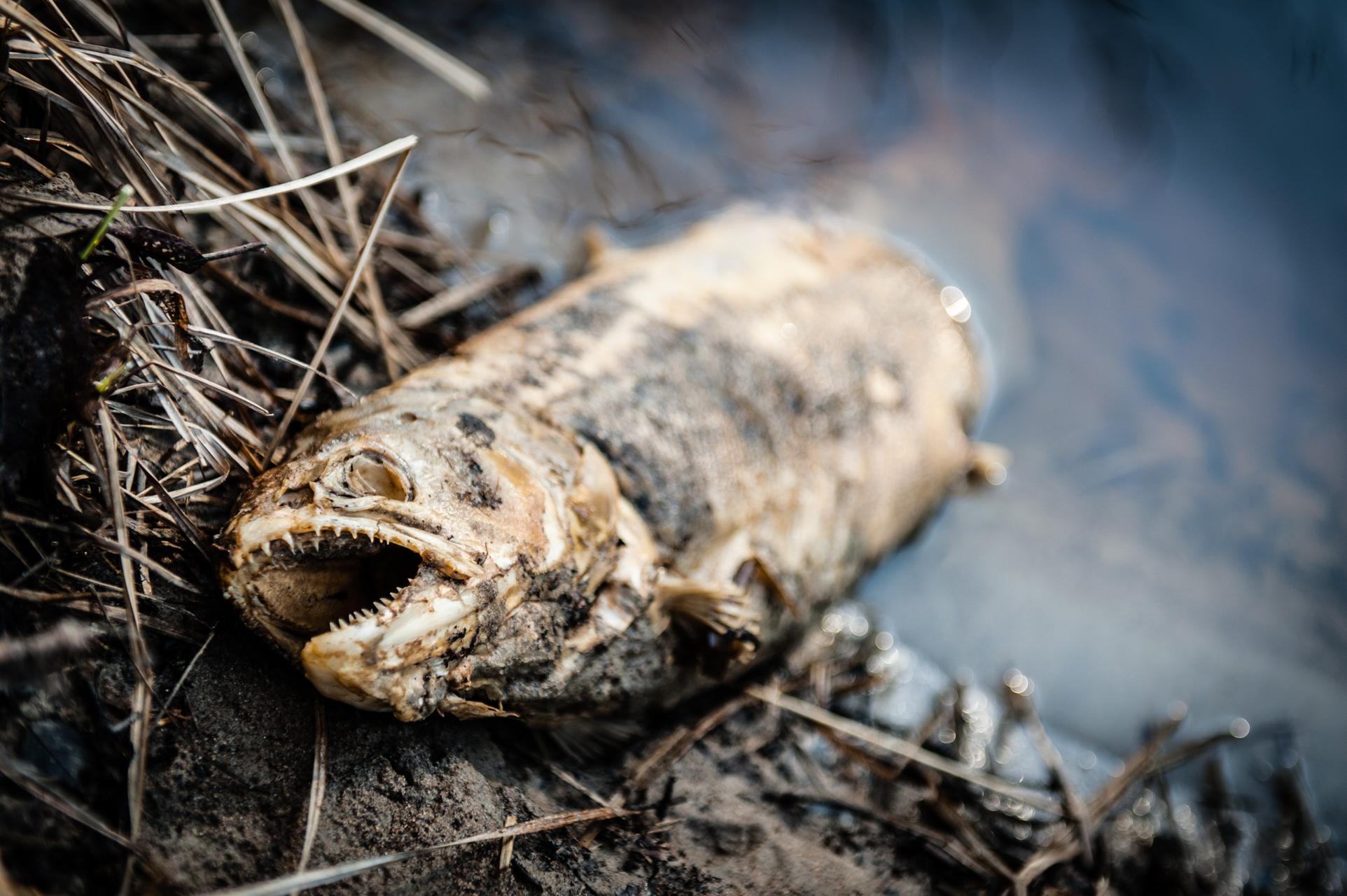 Stöter du på död eller skadad fisk i sommar ska du rapportera den till SVA.