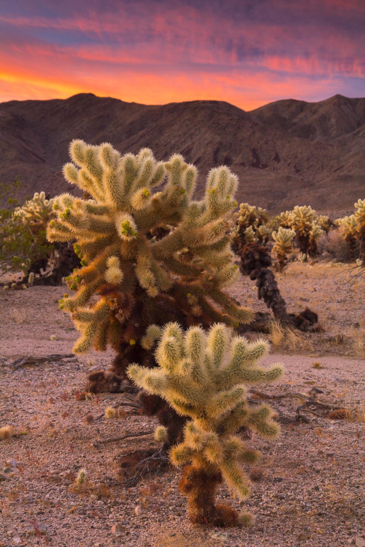Cholla Cactus Fire2.jpg