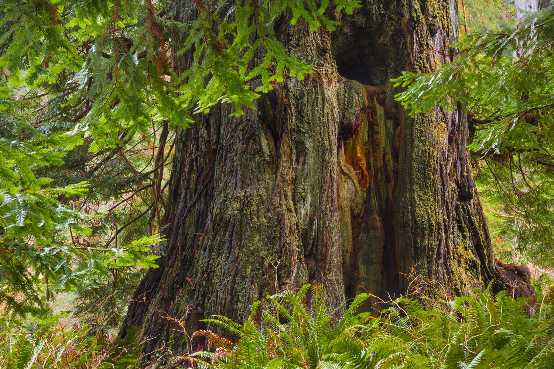 Newton B. Drury Tree - IMG_65002-PS.jpg