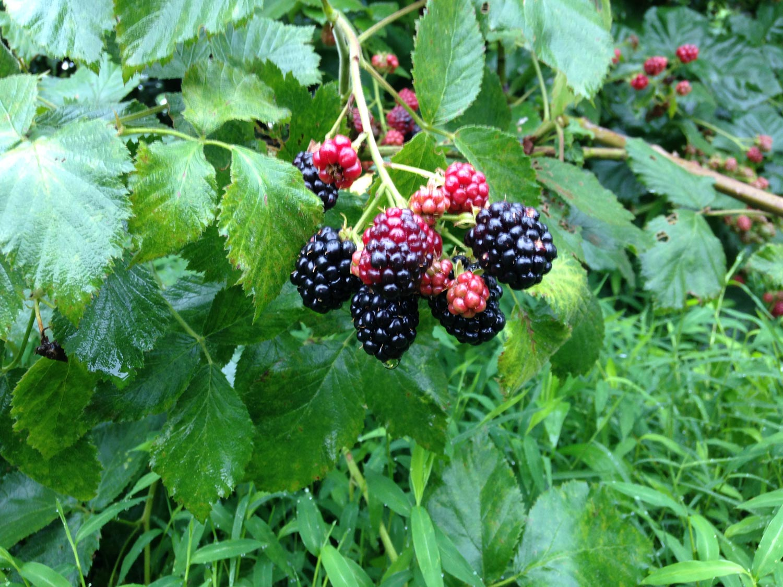 Baltimore-CSA-Calverts-Gift-Farm-BlackBerries.jpg