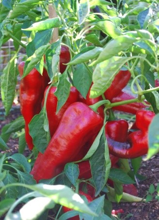 Carmen - thick walled sweet pepper
