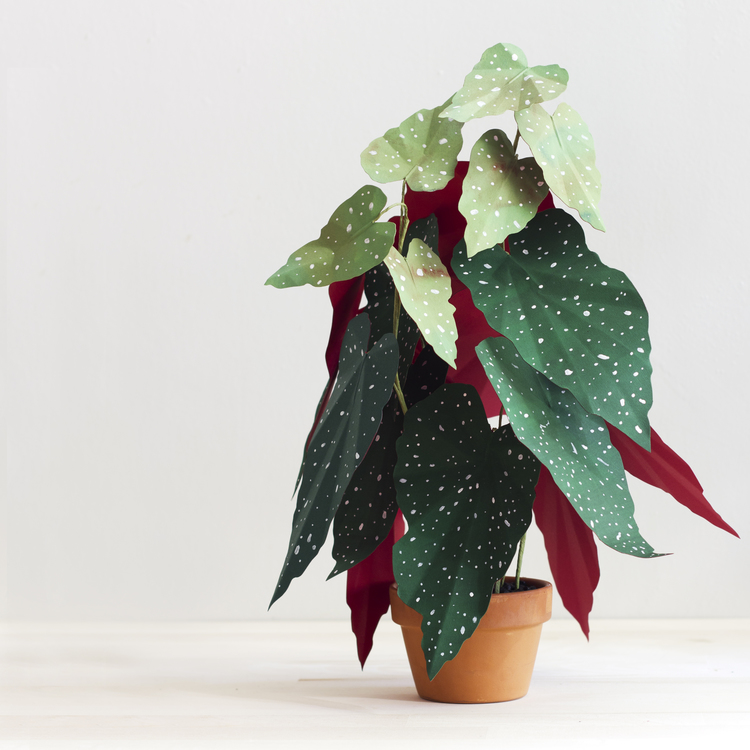 corrie_hogg_paper_plant_begonia.jpg