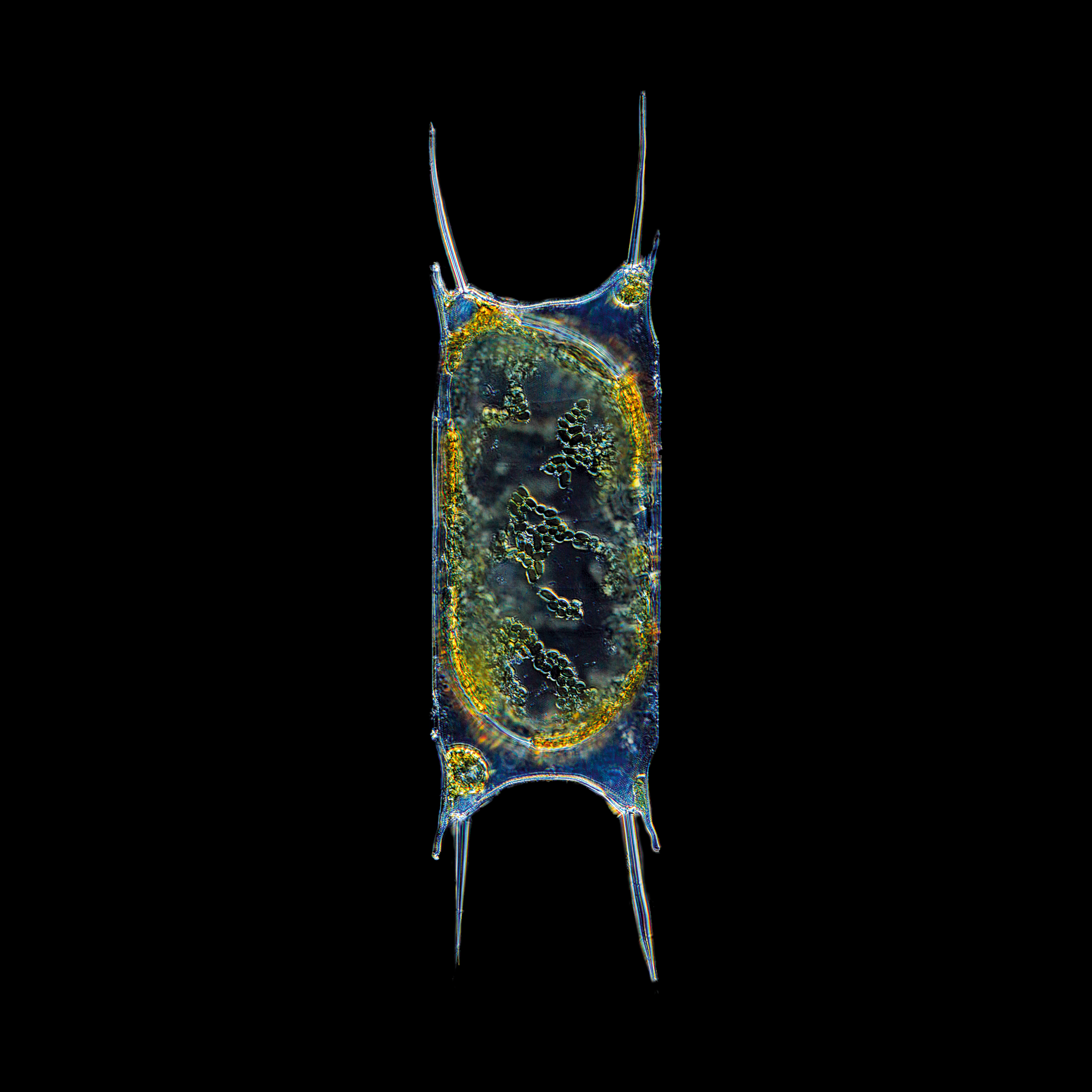 Christian Sardet and The Macronauts   Odontella sinensis diatom.  Bay of Roscoff, France. 2012   ©  Christian Sardet and The Macronauts / Plankton Chronicles Project