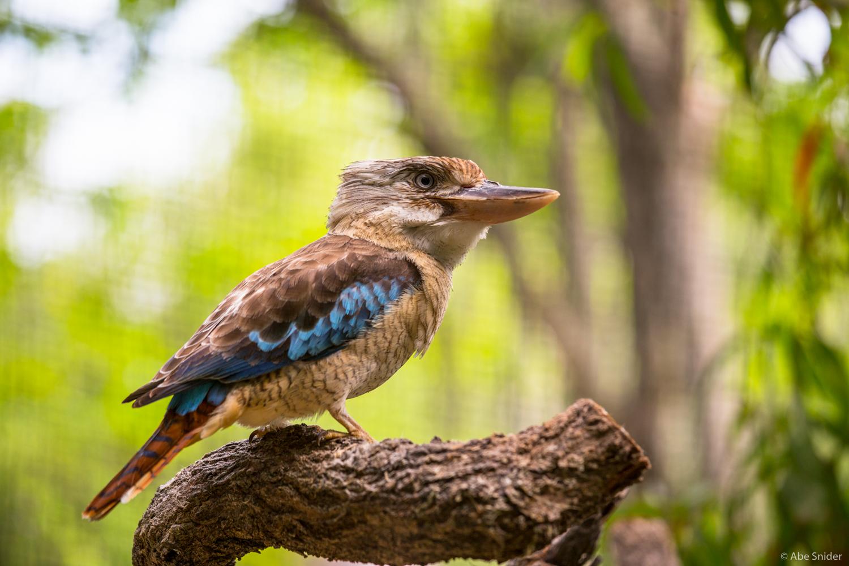 A kingfisher in a wildlife park near Cairns, Australia.