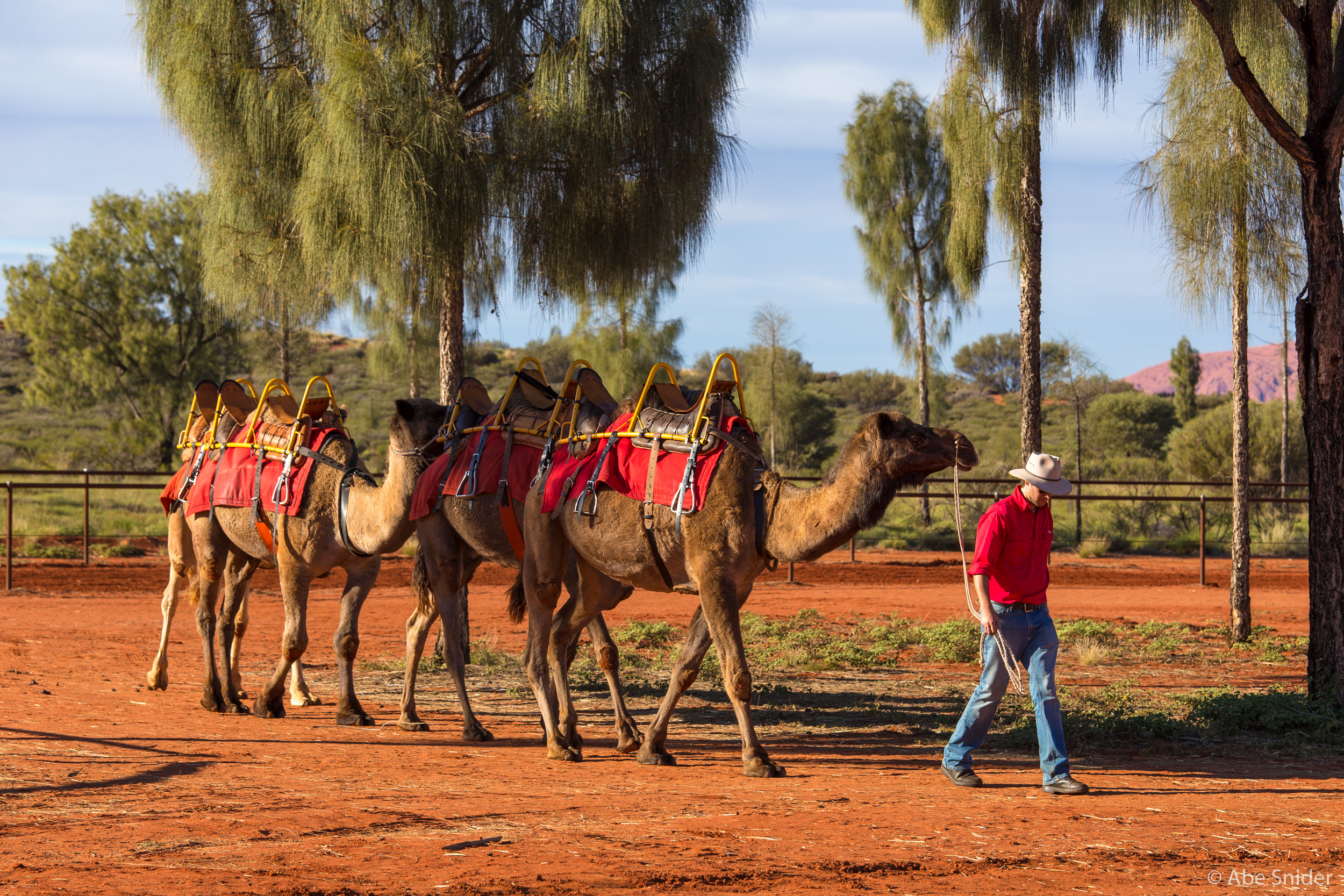 All camels on hand at the camel tour operator were once wild camels.