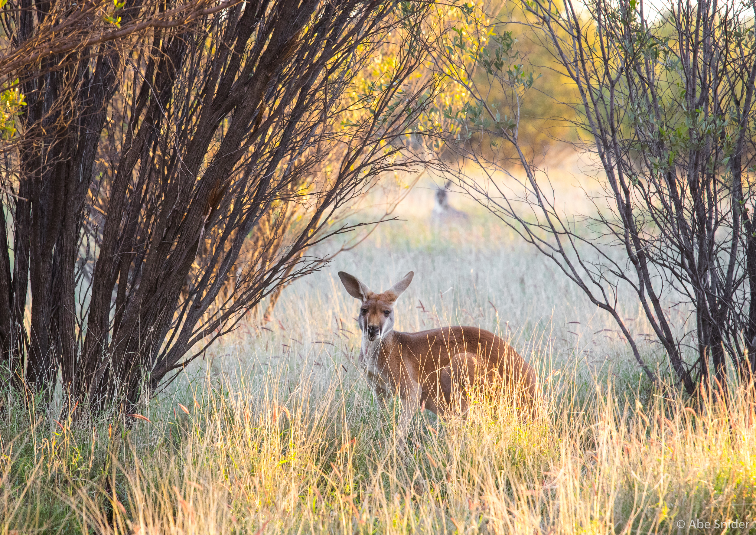 One of the dozens of kangaroos at the 188 acre sanctuary.