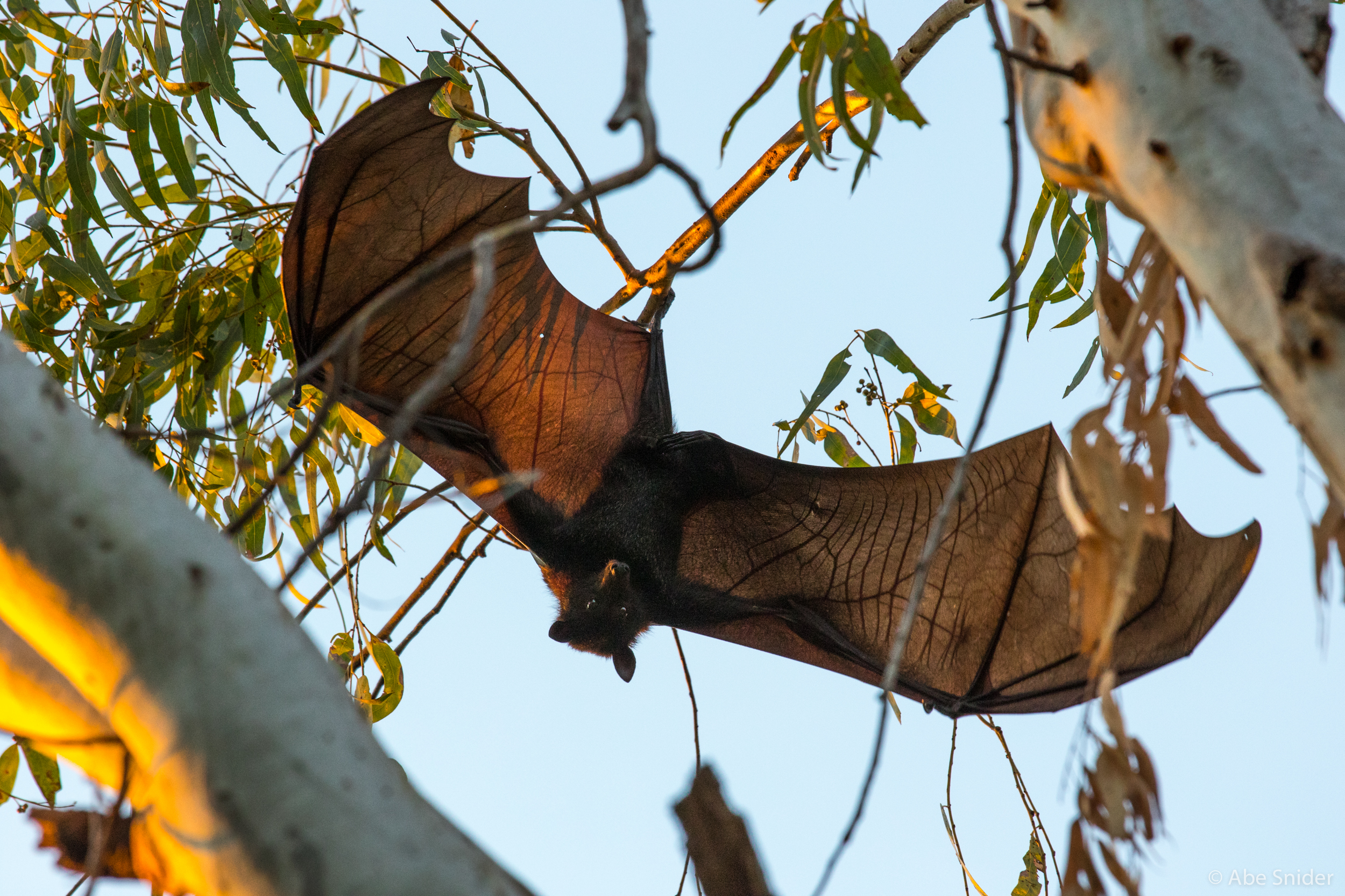 A flying fox at Katherine Gorge.