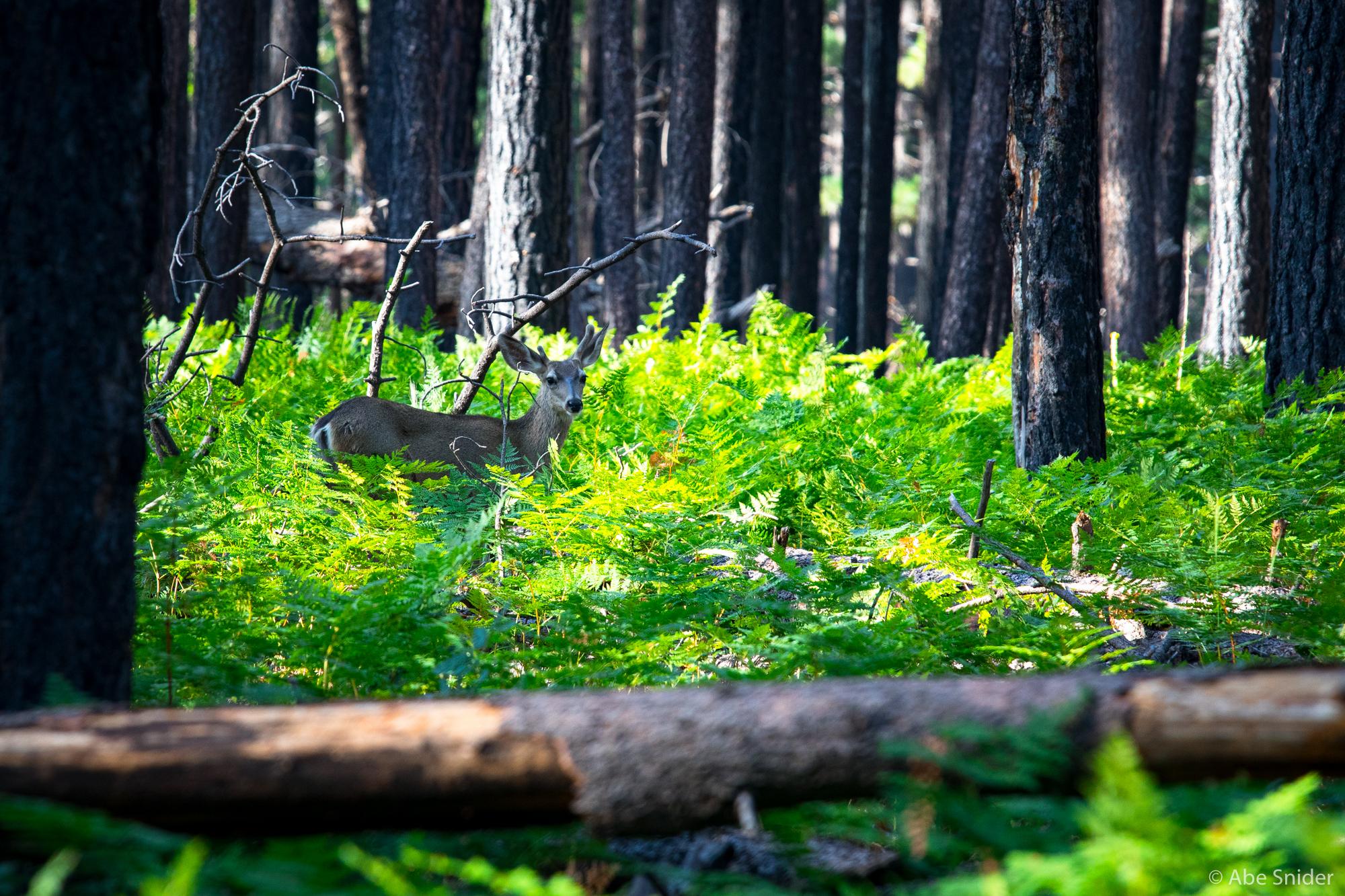 Northern Arizona Deer
