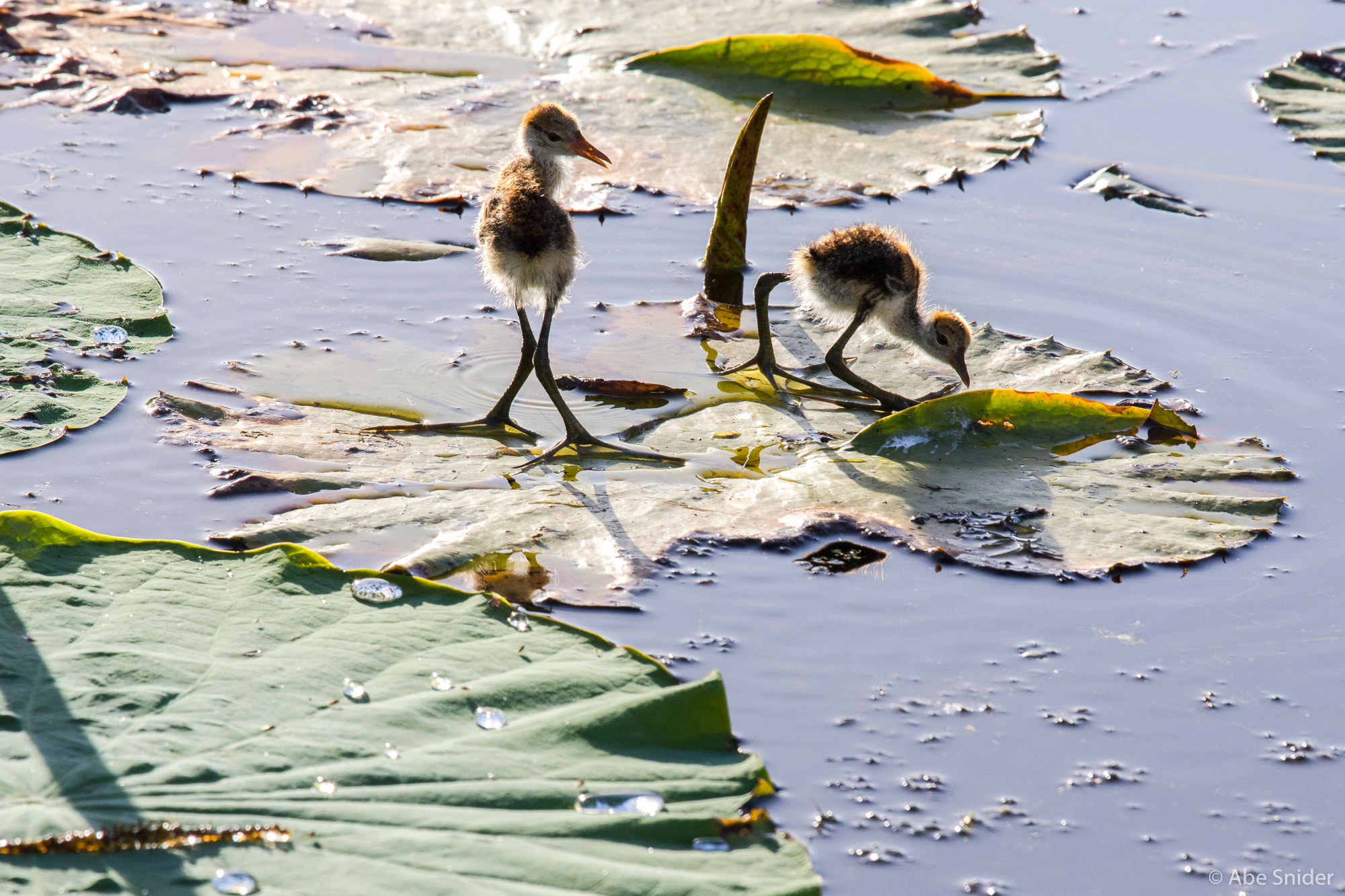 Baby Comb Crested Jacanas