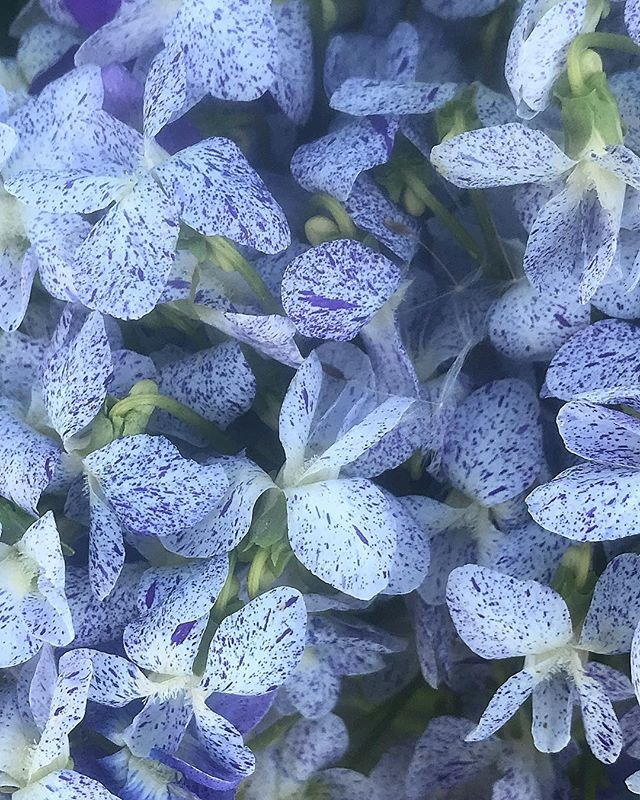 All of the freckled violets I could pick before yesterday's storm @thefarmbeyond #thefarmbeyond