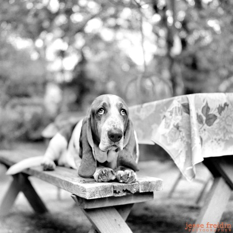 bassethound_dogphotography.jpeg