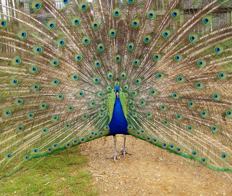 peacock-944957.jpg