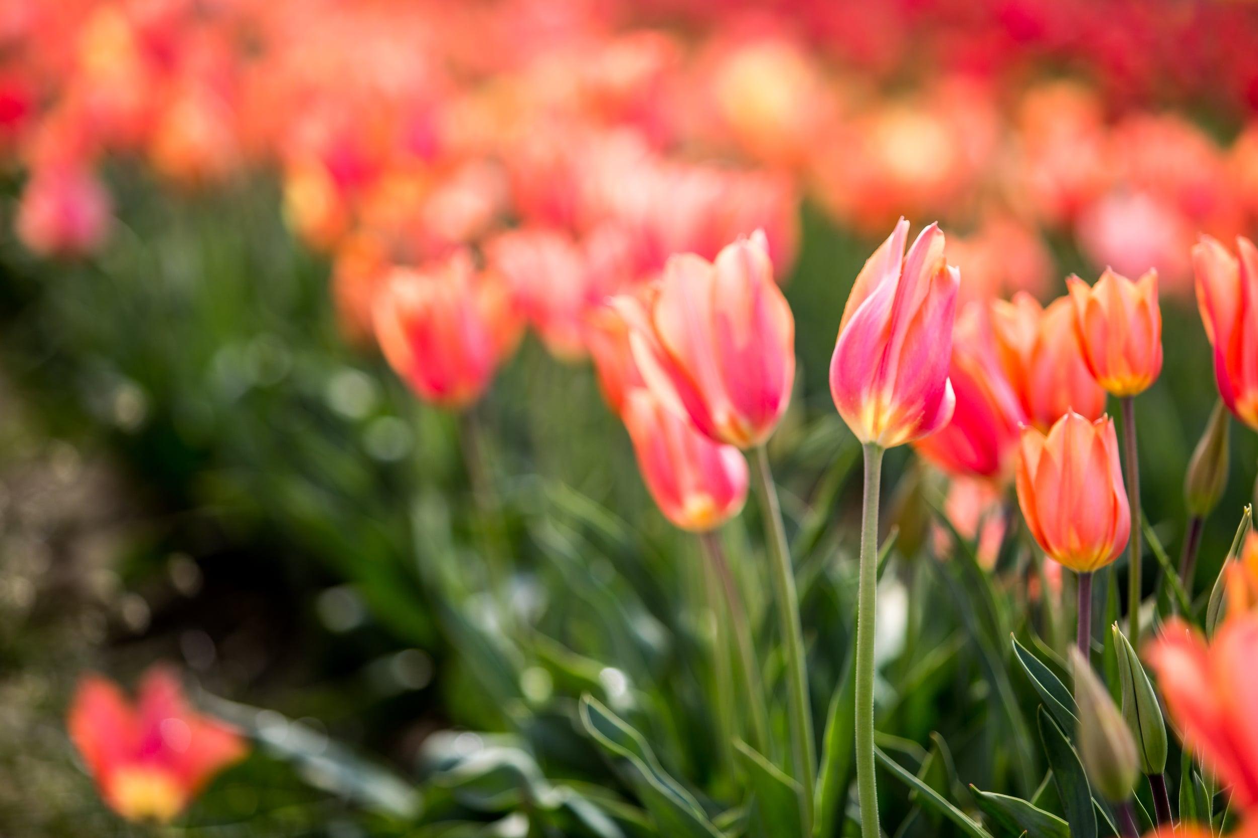 tulip-festival-2015-61.jpg