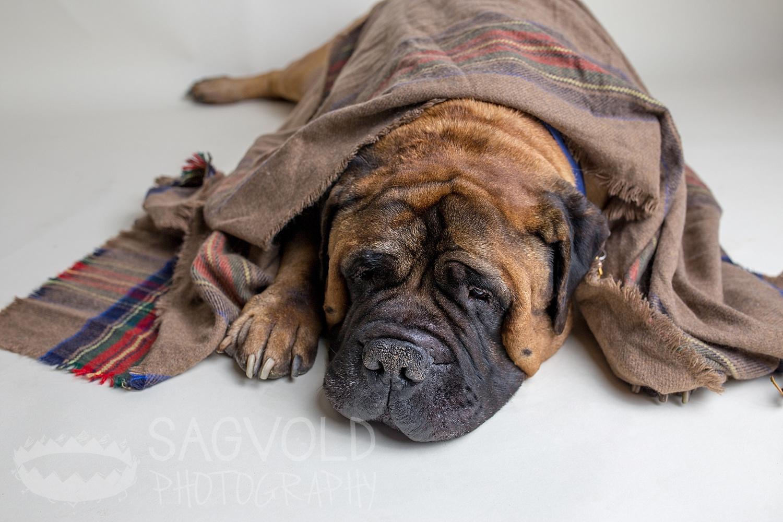 Pet picture Bullmastiff Fargo ND pet photographer Janna Sagvold Photography
