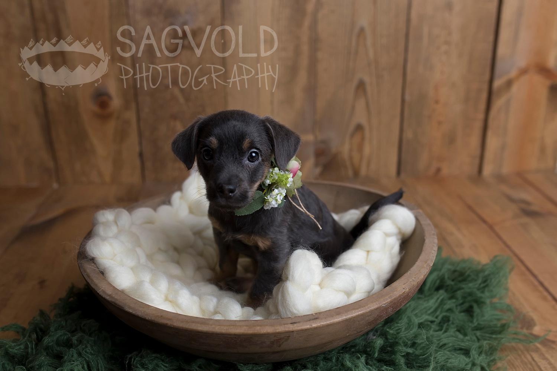 Newborn puppy picture Fargo ND pet photographer Janna Sagvold Photography
